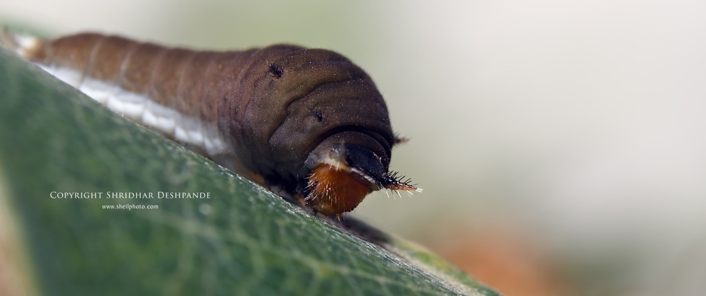 The Dancing Caterpillar