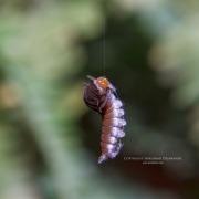 Caterpillar Ballet