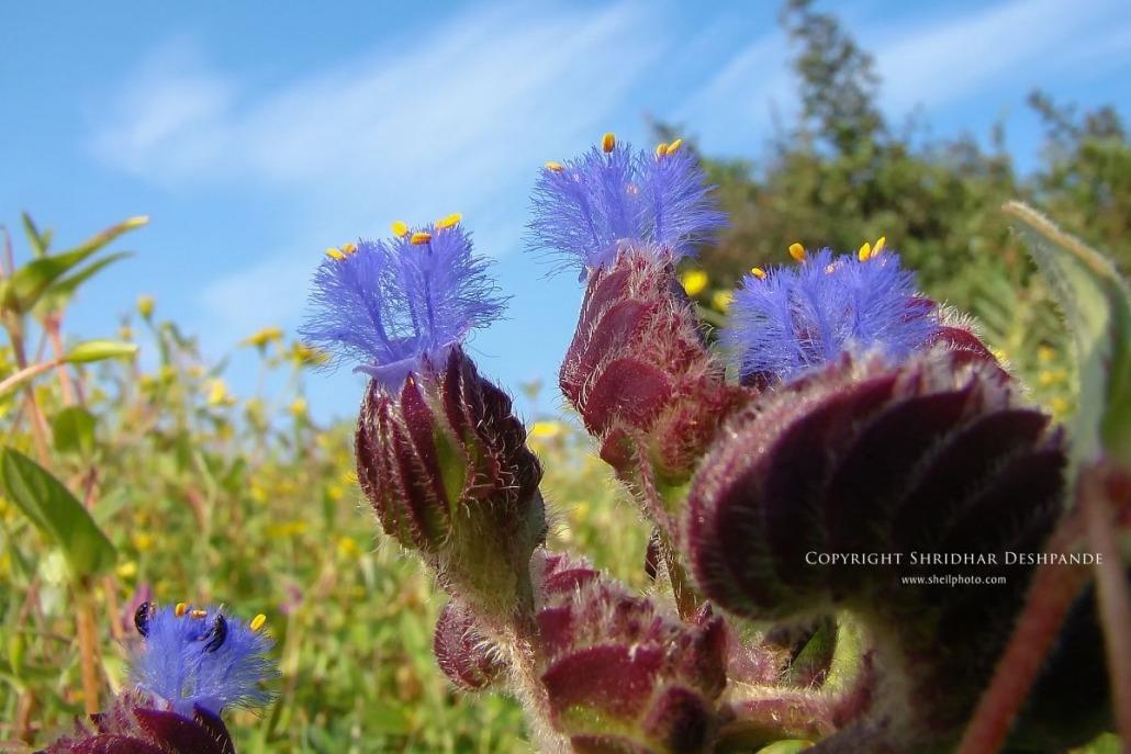 Abhali flower at Kaas
