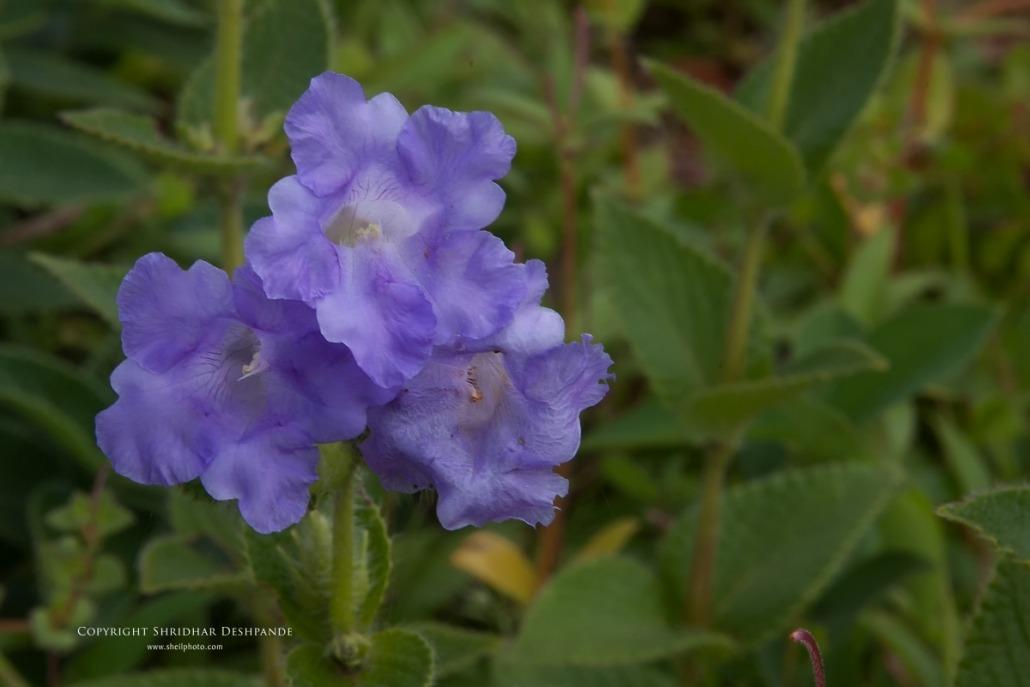 Karwi flower at Kaas