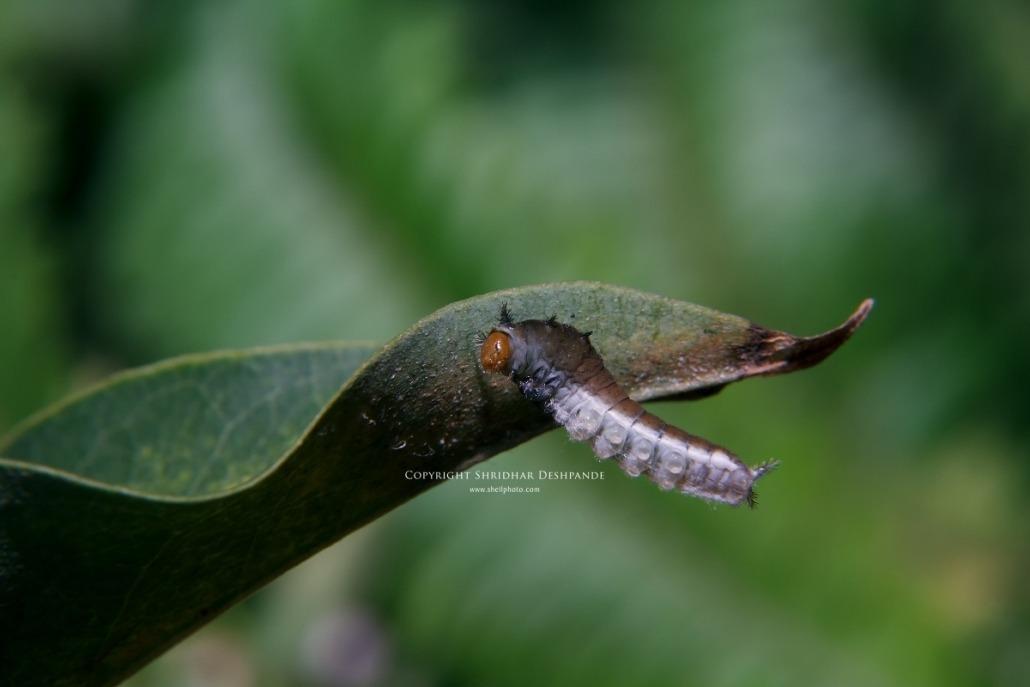 Caterpillar almost home